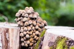 Små champinjoner av olika färger på trädstubbe Fotografering för Bildbyråer
