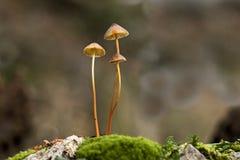 Små champinjoner i skog Arkivbilder