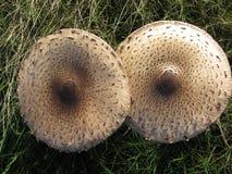 Små champinjoner på grönt gräs efter regn Höst Arkivfoton