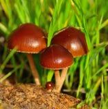 Små champinjoner som uthärdas från den organiska jorden Royaltyfria Foton