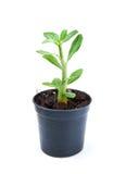 Små dekorativa växter spirar i blomkruka på vit backgroundonvitbakgrund Fotografering för Bildbyråer