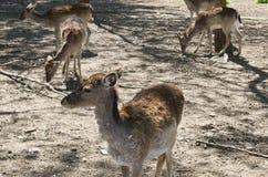 Små djura hjortar Fotografering för Bildbyråer