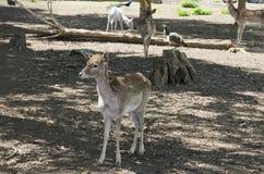 Små djura hjortar Royaltyfria Foton