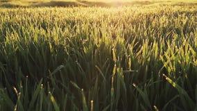 Små droppar av dagg i gräset lager videofilmer