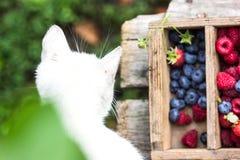 Små droppar för vatten för för sommarbärblåbär som och hallon är synliga på 100% Arkivbild