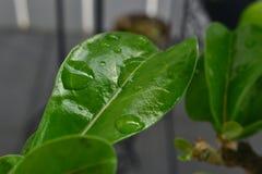 Små droppar på ett rosa blad för öken Royaltyfri Fotografi