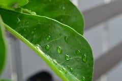 Små droppar på ett rosa blad för öken Royaltyfria Foton
