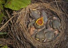 Små fågelungar i redet Fotografering för Bildbyråer