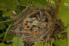 Små fågelungar i redet Royaltyfri Bild