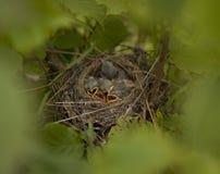 Små fågelungar i redet Royaltyfria Foton