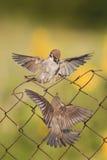 Små fåglar är sitta och slåss med trådstaketet Royaltyfri Bild