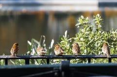Små fåglar som vilar på det soliga staketet i Central Park, New York Royaltyfri Fotografi