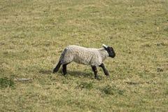 Små får i ängen Arkivfoton