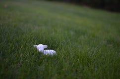 Små får i gräs Arkivbild