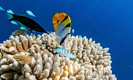 Små fiskar i Indiska oceanen Royaltyfria Bilder