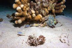 Små fiskar som döljer under korall under nattdyk, Bali Royaltyfri Bild