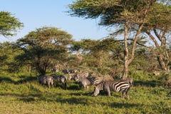 Små flockar av sebror Serengeti Tanzanya Arkivbild