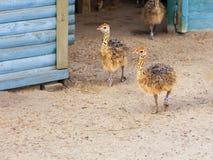 Små fluffiga ostrichspromenader runt om lantgårdgården arkivfoto