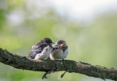 Små fylliga roliga fågelungar av byn svalorna sitter sidan - vid - sidan tillsammans på en filial och väntar på föräldrarna royaltyfri bild