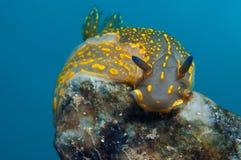 Små glidbanor för en Yellow Sea snigel på stenarna som söker efter mat arkivfoton