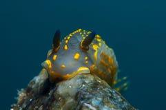 Små glidbanor för en Yellow Sea snigel på stenarna som söker efter mat royaltyfri bild