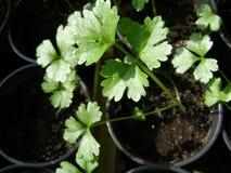 Små gröna selleriplantor royaltyfria bilder