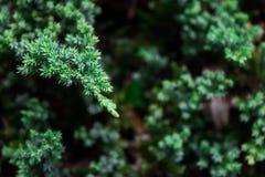 Små gröna sidor av sörjer trädet i trädgården, och blom- parkera för garnering med kopieringsutrymme Royaltyfri Fotografi