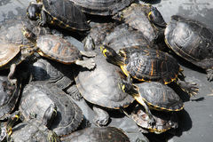 Små gröna sköldpaddor Arkivfoton