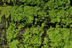 Små gröna växter som täcker våta stenar arkivbilder