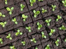 Små groddar av grönsallat royaltyfri foto