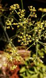 Små gula blommor av sommar royaltyfri foto
