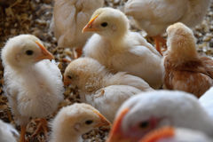 Små gula fågelungar Royaltyfri Foto