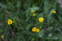Små gula vildblommor royaltyfri bild