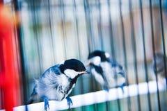 Små gulliga fåglar i en bur som tycker om morgonsoluppgång royaltyfri bild