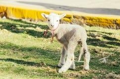 Små gulliga får som gambolling i en äng i en lantgård arkivbild
