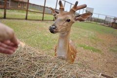 Små hjortar nära förlagematarna Royaltyfri Fotografi