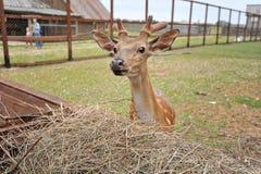 Små hjortar nära förlagematarna Royaltyfria Foton