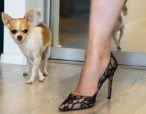 Små hund- och kvinnligben Chihuahuahund och svarta skor för höga häl arkivbilder