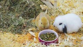 Små kaniner äter och har gyckel stock video