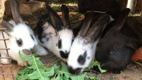 Små kaniner av olika färger som fås in i en rad och, äter gräs stock video