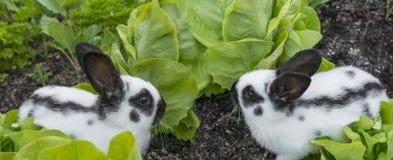 Små kaniner som äter grönsallat arkivfoton
