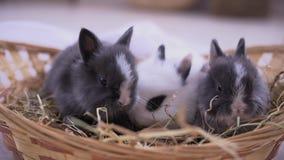 Små kaniner som sitter in i korgen Påskberömmen lager videofilmer