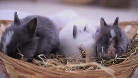 Små kaniner som sitter in i korgen Påskberömmen stock video