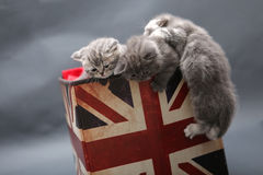 Små kattungar i en fotostudio Royaltyfria Foton