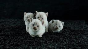 Små kattungar jamar på en svart bakgrund stock video