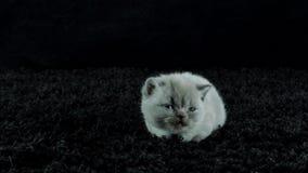 Små kattungar jamar på en svart bakgrund arkivfilmer