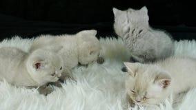 Små kattungar på en vit fauxpäls, svart bakgrund arkivfilmer