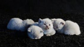 Små kattungar som sover på en svart bakgrund stock video