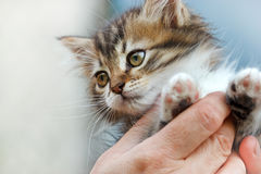 Små kattungeavel av Maine Coon Arkivfoto