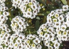 Små klungor av vita mycket små blommor på en liten grön buske Arkivfoton
